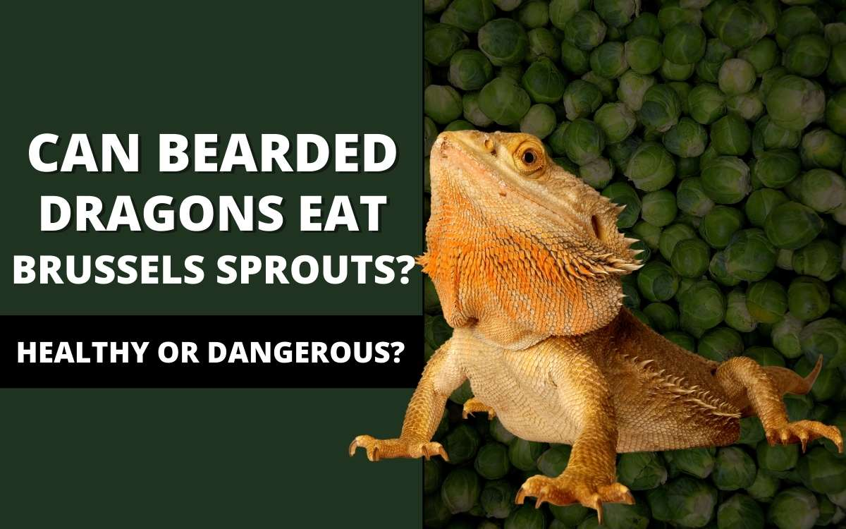 bearded dragons eat brussel sprouts