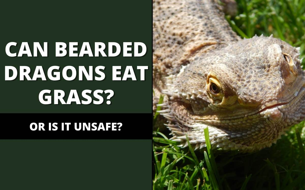 Can bearded dragons eat grass?