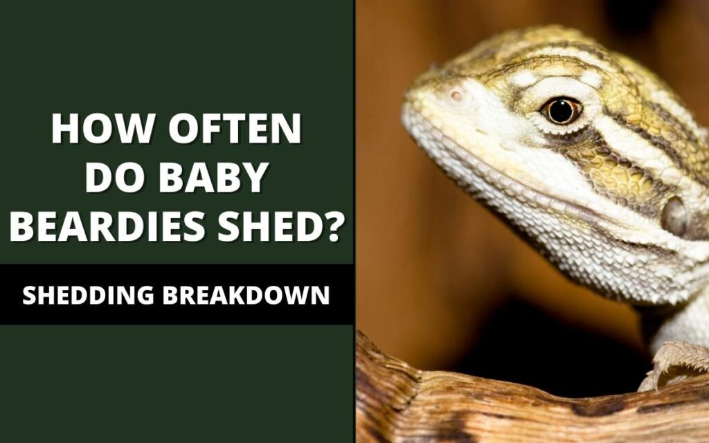 how often do baby bearded dragons shed