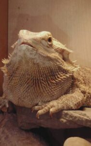 overweight bearded dragon